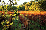 Grape Vines Posters - Late Autumn in Napa Valley Poster by Ellen Cotton
