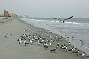 Flying Seagull Prints - Laughing Gulls Print by Suzanne Gaff