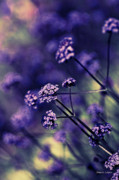 Artography Photos - Lavender Garden I by Jayne Logan Intveld