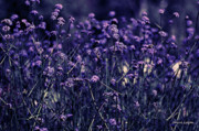 Artography Photos - Lavender Garden II by Jayne Logan Intveld