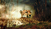 Cheetah Digital Art Framed Prints - Laying In Wait Framed Print by Jan Galland