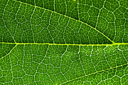 Macro Art - Leaf by Fabrizio Troiani