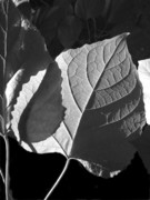 Parallel Vein Leaf Prints - Leaf Print by Nila Dakshinamurthy