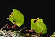French Guiana Prints - Leafcutter Ant Atta Cephalotes Workers Print by Mark Moffett