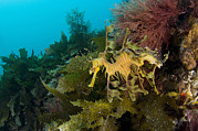 Phycodurus Eques Prints - Leafy Sea Dragon Print by Matthew Oldfield