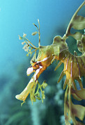 Leafy Sea Dragon Posters - Leafy Sea Dragon Poster by Peter Scoones