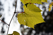Vine Leaves Posters - Leaves Of Wine Grape Poster by Michal Boubin