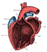 Labeled Posters - Left Side Of The Heart Poster by Science Source
