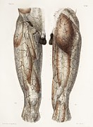 Testicle Framed Prints - Leg Anatomy, 19th Century Illustration Framed Print by