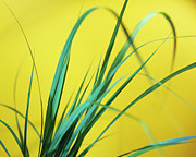 Antiseptic Framed Prints - Lemon Grass Leaves Framed Print by Lawrence Lawry