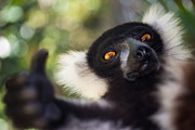 Fauna Posters - Lemur Expresion Poster by Hein Welman