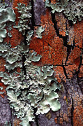 Textured Metal Prints - Lichen On Tree Bark Metal Print by John Foxx