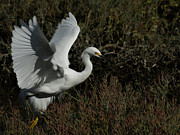 White Birds Photos - Lift Off by Ernie Echols