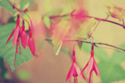 Fushia Photo Prints - Lightly Pink Print by Kerry Langel