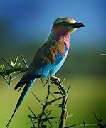 African Wildlife Art - Lilac Breasted Roller by Joseph G Holland