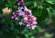 Lilacs Photos - Lilac by Cathie Tyler