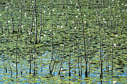 Lilly Pads Framed Prints - Lilly Pond Framed Print by John Greim