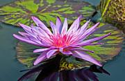 Lily Print by Athena Mckinzie