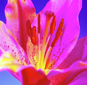 Stargazer Framed Prints - Lily (lilium stargazer) Framed Print by Johnny Greig
