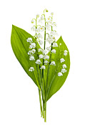 Lots Of Leaves Prints - Lily-of-the-valley flowers Print by Elena Elisseeva