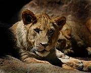 Lion Framed Prints - Lion Cub Framed Print by Anthony Jones