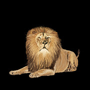 Mammal Framed Prints - Lion painting Framed Print by Setsiri Silapasuwanchai