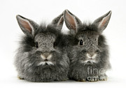 Lionhead Rabbits Print by Jane Burton