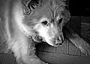 Little Dogs Photos - Little Bear in Old Age 2 by Sarah Loft