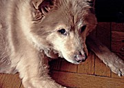 Little Dogs Photos - Little Bear in Old Age by Sarah Loft