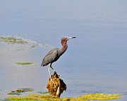Gray Heron Framed Prints - Little Blue Heron Framed Print by Al Powell Photography USA