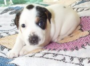Black And White Jack Russell Terrier Puppies Photos - Little Diamond  by Linda Parker