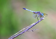 Dragonflies Art - Living on the Edge by Carol Groenen