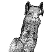 Drawn Prints - Llama Print by Karl Addison