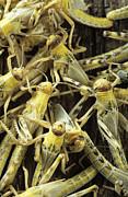 Locusts Print by David Aubrey