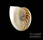 Patterns In Nature Framed Prints - Logarithmic Spiral Framed Print by Photo Researchers, Inc.