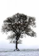 Bare Trees Prints - Lone Tree In Field Print by John Short