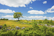 Blueberry Barrens Posters - Lone Tree With Blue Sky In Blueberry Field Maine Poster by Keith Webber Jr