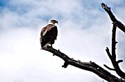 Eagles Prints - Lonely Sentenel Print by Don Mann