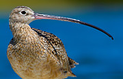 Framedart Prints - Long-billed Curlew Print by Scott Helfrich