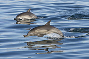 Side Saddle Posters - Longbeaked Common Dolphins Porpoising Poster by Suzi Eszterhas