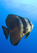 New Britain Framed Prints - Longfin Spadefish, Papua New Guinea Framed Print by Steve Jones