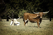 Bulls Metal Prints - Longhorn Cows Ressting Metal Print by M K  Miller