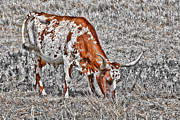 Wichita Framed Prints - Longhorn Framed Print by Douglas Barnard