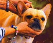 French Bulldog Paintings - Longing by Jai Johnson