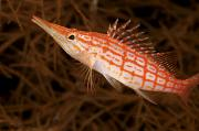 Aquatic Framed Prints - Longnose Hawkfish Framed Print by Steve Rosenberg - Printscapes
