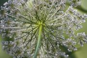 Queen Annes Lace Prints - Look Up Print by Teresa Mucha