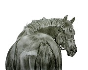 Thoroughbred Drawings - Looking  Back by Lucka SR