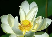 Sabrina L Ryan - Lotus Blooming