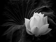 Floral Prints Framed Prints - Lotus Framed Print by Jimmy Huynh