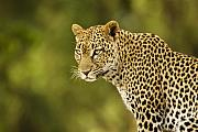 Cats Photo Prints - Lovely Leopard Print by Michele Burgess